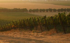Grape vines in the Valley-Wente